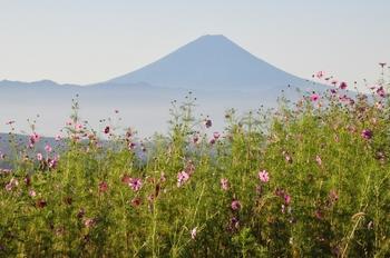コスモスと富士山.jpg