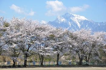 主のいない桜.jpg