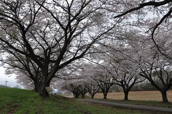 蕪の桜.jpg