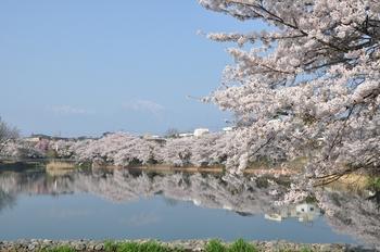 長坂湖の桜と甲斐駒.jpg